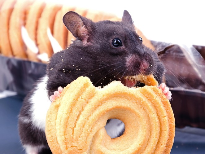 Mice Lacking Certain Gene Appear to Be Protected Against Effects of High-Fat Diet